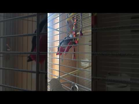 Cicù volteggia nella gabbia – African Grey parrots plays in his cage