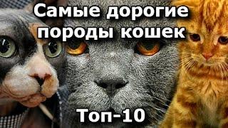 видео Кошки породы бобтейл: разновидности и их описание