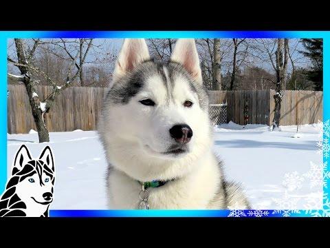 HUSKIES ARE SNOW HAPPY | #AskGTTSD 284 | Siberian Husky