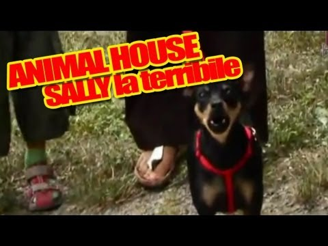 Pinscher nano incazzato – Sally ad Animal House