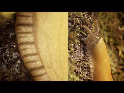Banana Slugs: Secret of the Slime | Deep Look