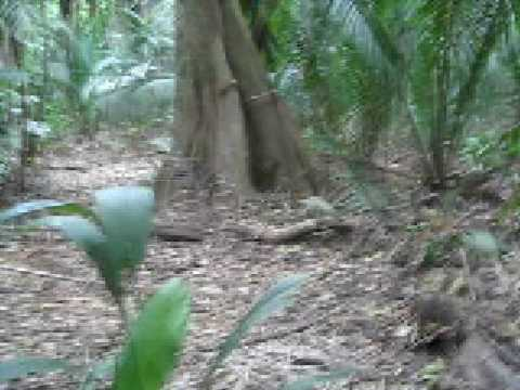 Walking through the jungle, Sittee River, Belize