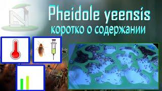 Краткое руководство по содержанию муравьев. Pheidole yeensis