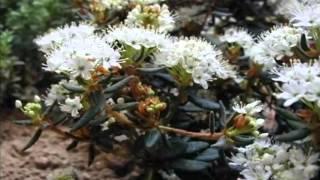 видео Багульник болотный свойства