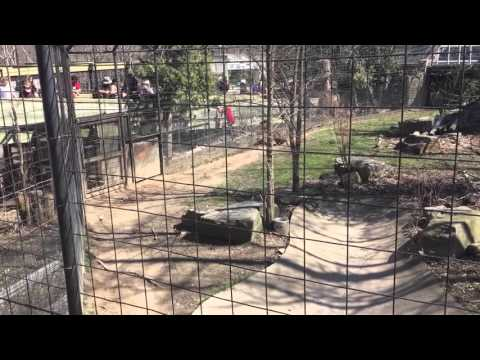 Person jumping tiger fence at Toronto Zoo