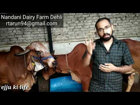 Nandani Gir cow Dairy Farm Delhi ~ pure A2 Milk Farm