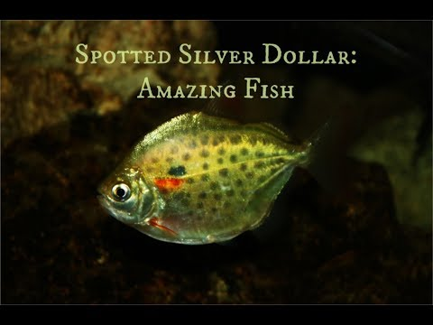 Spotted Silver Dollar: Amazing Fish