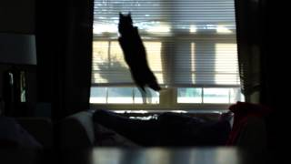 Cat Jumps Through Window Blinds For Bird