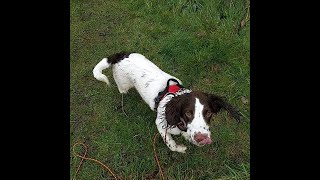 Bramley the Springer Spaniel - FREE 4 Weeks Residential Dog Training
