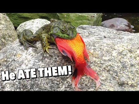 CRAZY WILD BULLFROG ATE MY POND FISH!