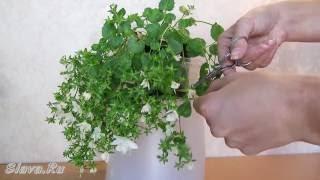 Кампанула обрезка побегов  - Campanula isophylla