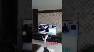 동물농장 보고 짖는  시츄 강아지