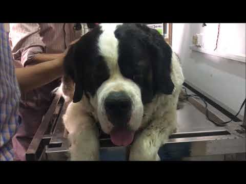 ST. BERNARD COAT SHAVE | THEASA  update | Wildly Indian