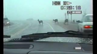 1997 - Stambecchi sulla strada per Jasper, Nord Canada