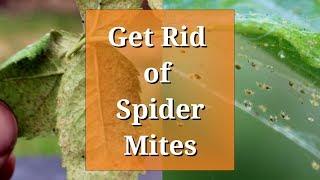 Get Rid of Spider Mites