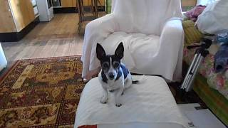 Wendy the Mini Fox Terrier