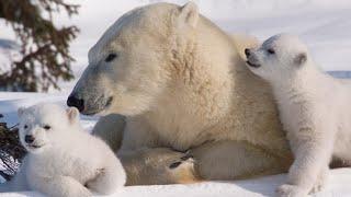 Хозяин Арктики. Мир отмечает международный день полярного медведя