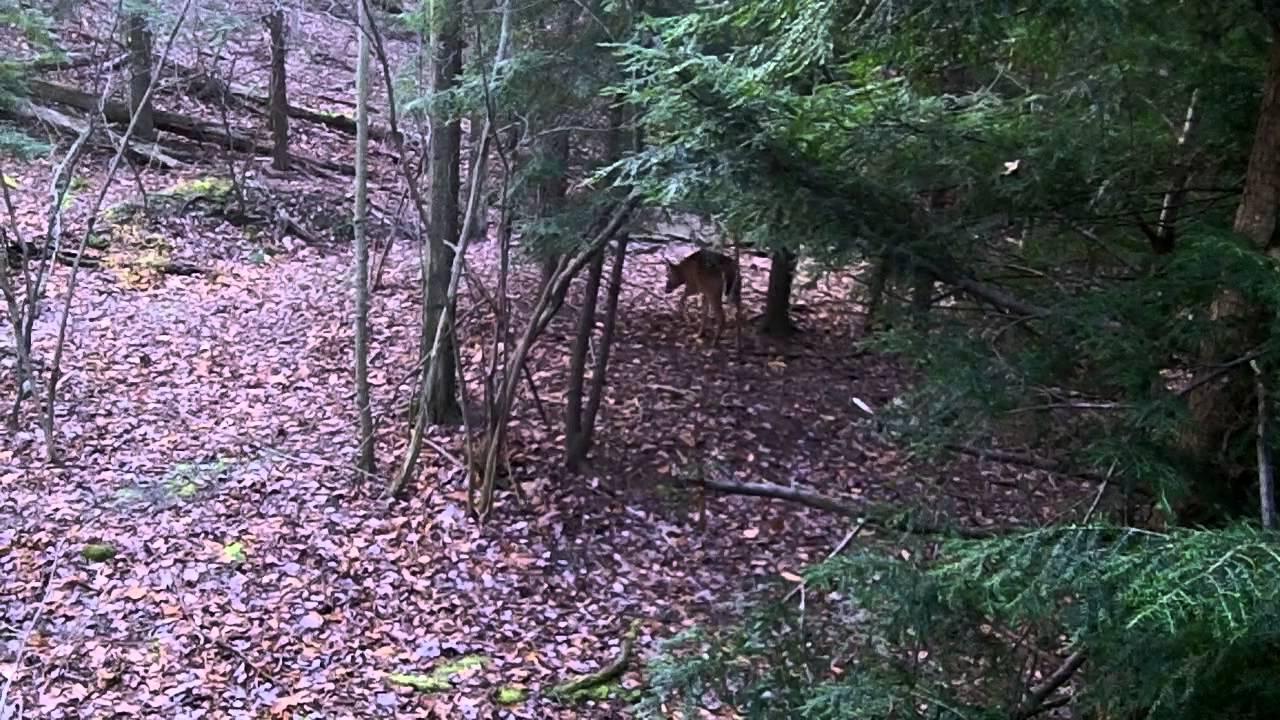 6pt Buck Walks Under Tree Stand Youtube