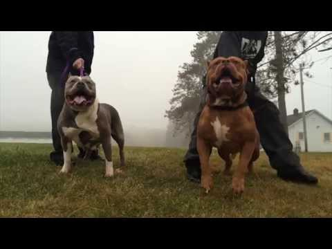 THE DOGMAN BEHIND DDK9 AND HULK THE WORLD'S MOST FAMOUS PITBULL DOG