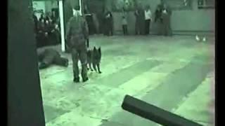 Dog VS Criminal. Security Dog Training - Bodyguard Dog Training