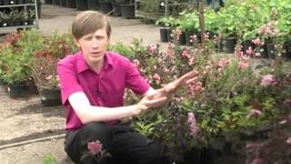 видео Черноплодная рябина: лечебные свойства, противопоказания, рекомендации к применению