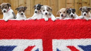 Adorable Litter Of Jack Russell Puppies Named After Members Of The Royal Family
