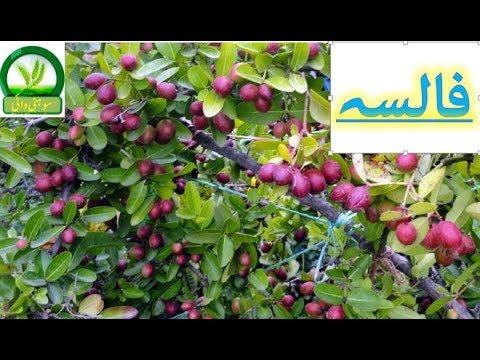 Falsa farming prectical video urdu,hindi Falsa farming in Pakistan/Phalsa  berries bussiness