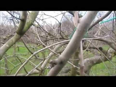 Potatura del melo 2 parte youtube for Potatura del melo