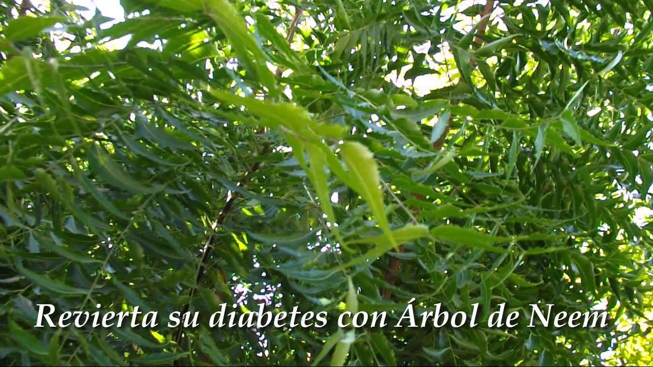 árbol de neem para la diabetes