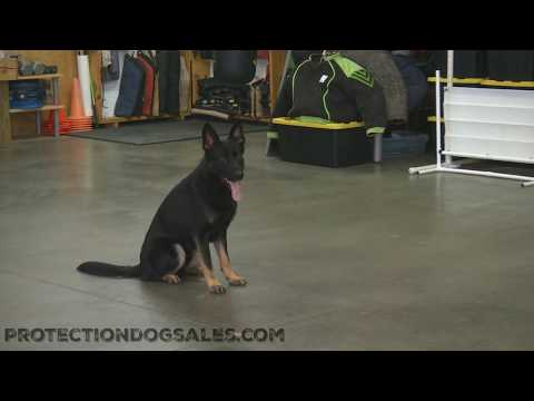 Biking W/Patton 15 Mos Old Agility/Protection/Tricks Proofing For Life Dog For Sale