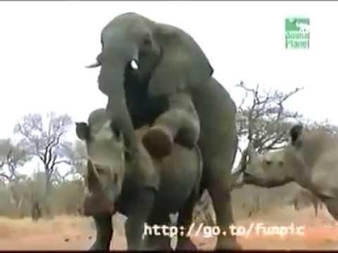 Cinta Terlarang Perkawinan Takwajar Youtube - Perkawinan Hewan Gajah, Masa Kawin Singkat Gajah Betina Tidak Mau Jauh Dari Gajah Jantan