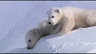 Polar bear cubs out on the Arctic ice - Planet Earth - BBC Earth