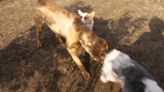 強い風の中ですが、 土佐犬と、 ウェルシュ・コーギー・ペンブローク そ...