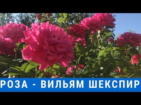 Роза Вильям Шекспир//Rose Willam Shakespeare//