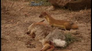 Fearless weasel encounter
