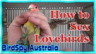 How to Sex Lovebirds | BirdSpyAus