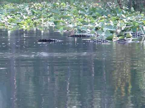Gators on the Prowl