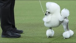 Weltbekannte Hundeausstellung: Seit 1877 geht es ums Pudelwohl