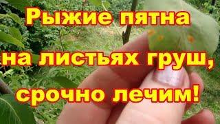 Желтые пятна на листьях груши  это ржавчина,опаснейшее заболевание!