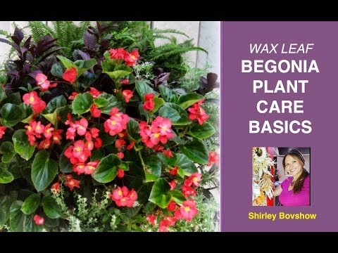 BEGONIA PLANT CARE BASICS: WAX LEAF BEGONIAS / EdenMakers