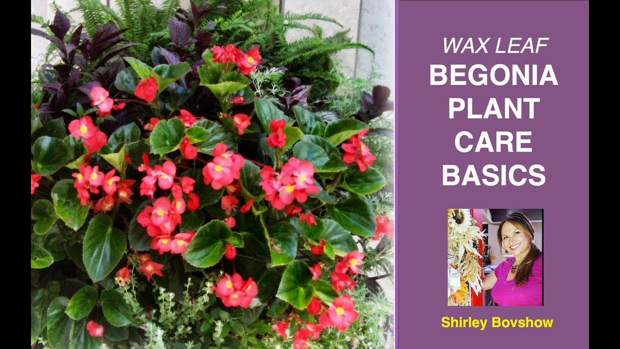 Begonia Plant Care Basics Wax Leaf Begonias Edenmakers Youtube