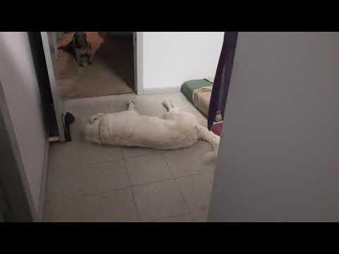 Funny Boof head Toby, The Maremma Sheep Dog