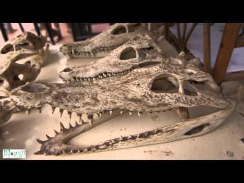 Selling of Crocodile Skull at Old Market Shop