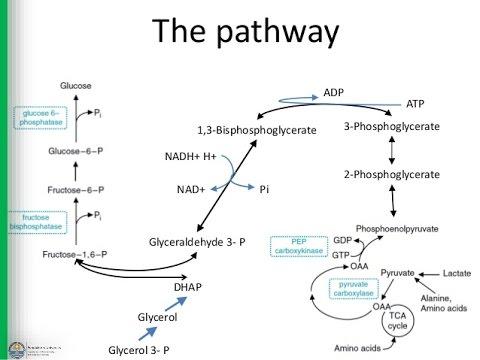 2 Gluconeogenesis - chapter 18