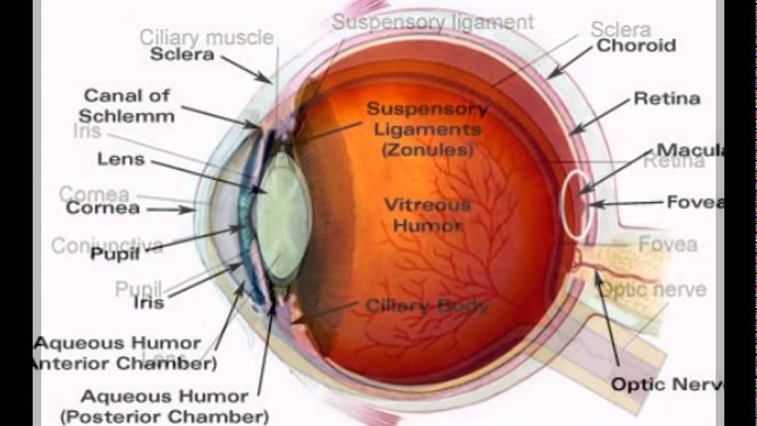 Vistoso Human Eye Anatomy Pdf Inspiración - Anatomía de Las ...