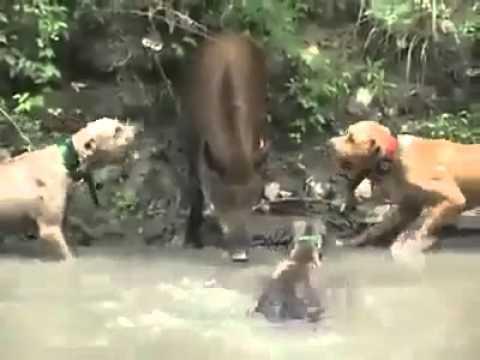 Chó săn lợn rừng
