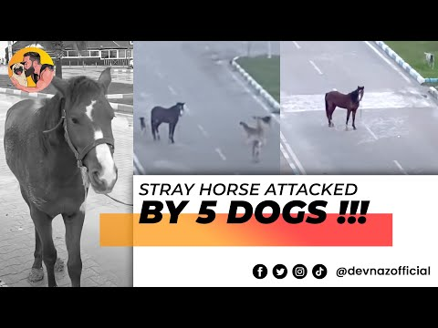 Stray Horse attacked by 5 dogs!!