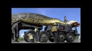 Repeat youtube video اكبر افعى في العالم سبحان الله The biggest snake in the world Hallelujah العاب برامج