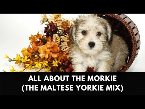 All About The Morkie (The Maltese Yorkie Mix)