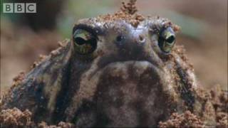 Attenborough: Amazing Rain Frogs - Life in Cold Blood - BBC wildlife